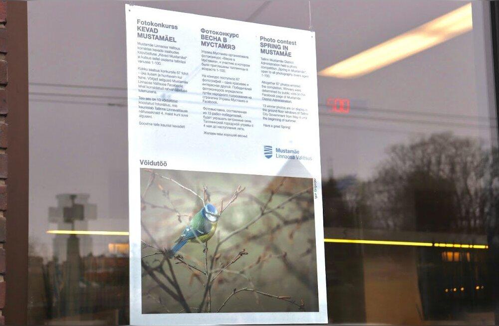 """""""Мустамяэскую весну"""" можно увидеть в выставочных окнах Таллиннской горуправы"""