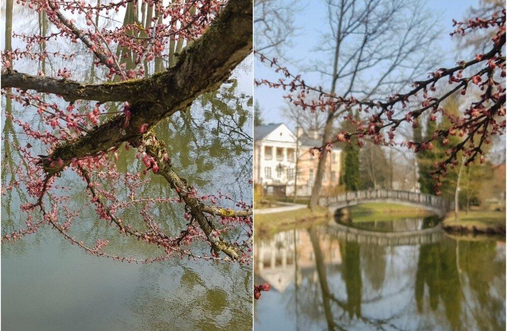 """В Каунасском ботаническом саду цветет уникальное """"карамельное"""" дерево"""