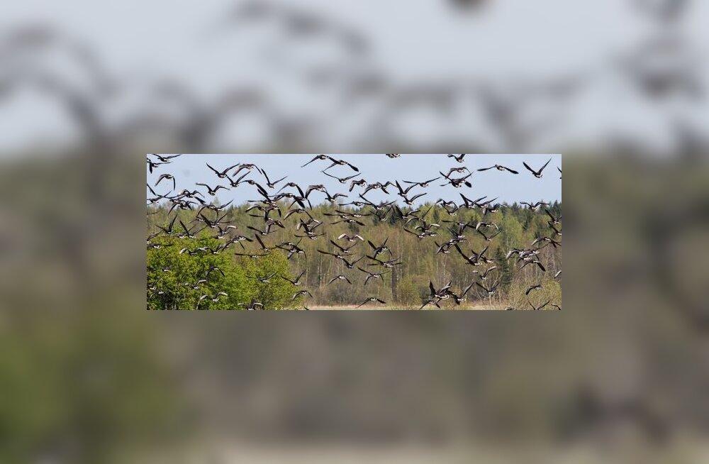 Linnuvaatlusel loendati Eestis 150 liiki linde