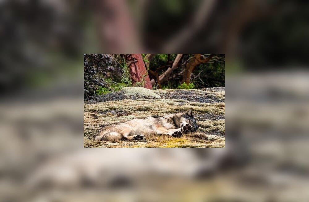 Maailm leinab: jahimees tappis Kanada väikesaare üksiku staarhundi