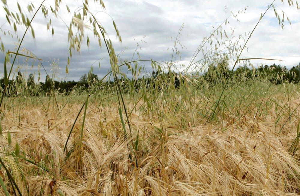 Tuulekaer Raplamaa viljapõllul