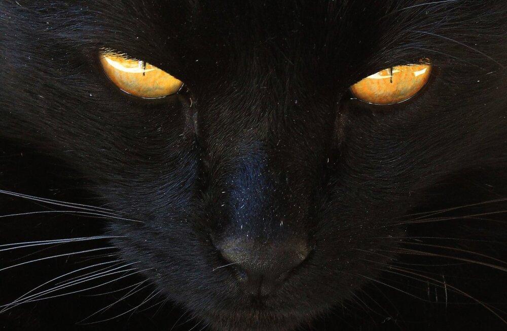 Varjupaikade suur mure: mustad kassid nukrutsevad toanurgas - miks ei taha neid mitte keegi?