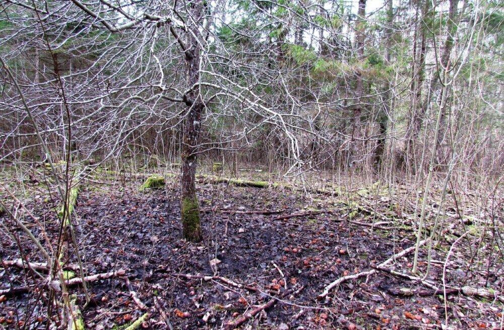 Metsik õunapuu ja kevadtööd