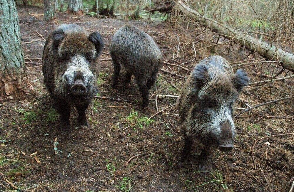 Африканская чума свиней никуда не делась: в Рапламаа обнаружено больное животное