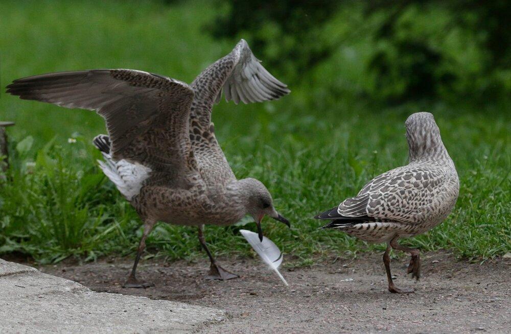 Puidust kurg ja kajakas imiteerivad lendamist ja liikumist.
