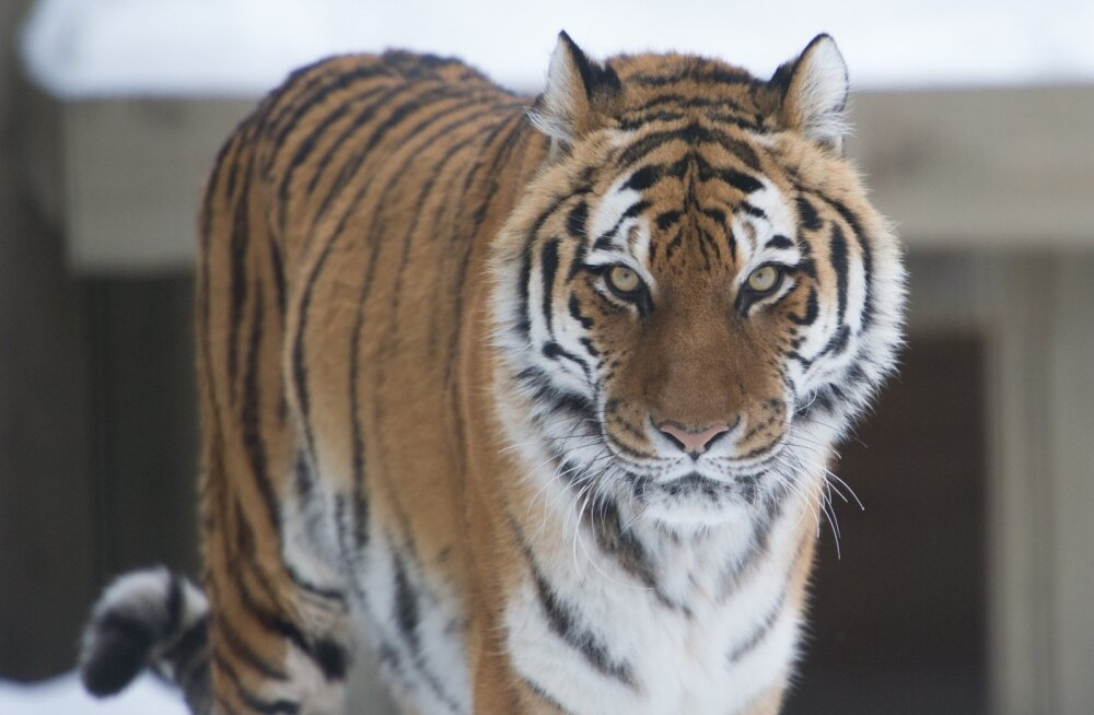 Saksa loomaaiast põgenenud tiigrid, lõvid ja jaaguar saadi kätte, karu lasti maha