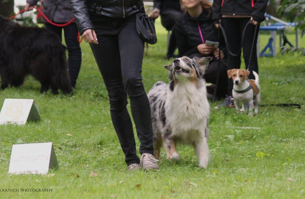 FOTOD   Lõbus spordiala igale koerale - Sandy käis unustusehõlma vajunud rallikuulekuse oskuseid tutvustamas