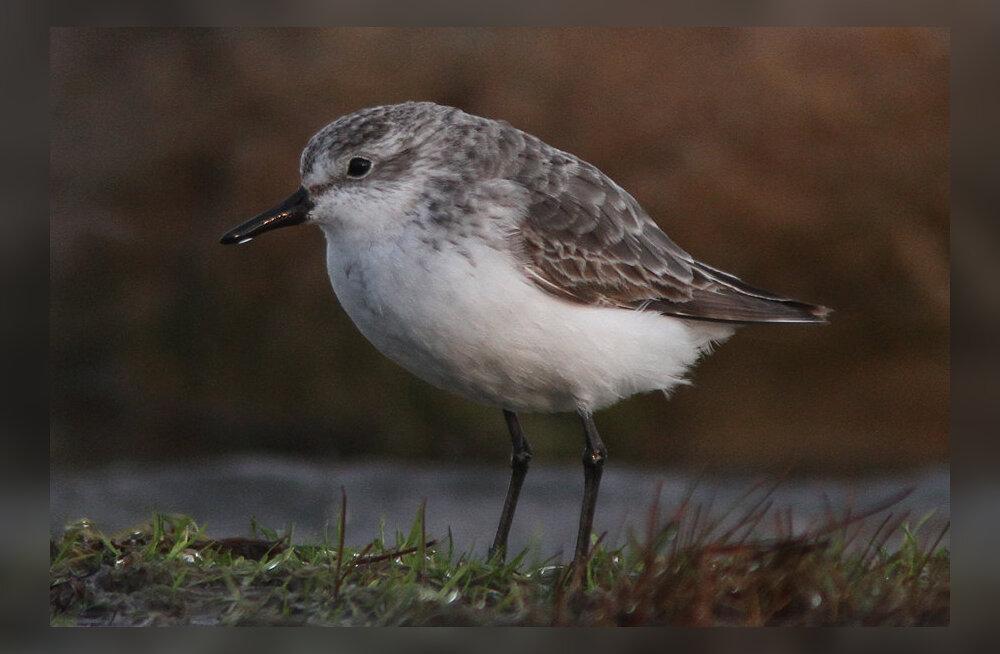 FOTO | Tere tulemast: pärast aastatepikkust analüüsi sai selgeks, et Eestist leiti täitsa uus linnuliik