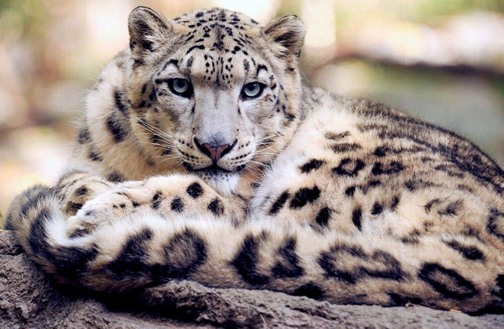 ÜRITUS | Loomaaia lumeleopardipäev saab olema väga põnev nii lumeleopardile kui ka külastajatele