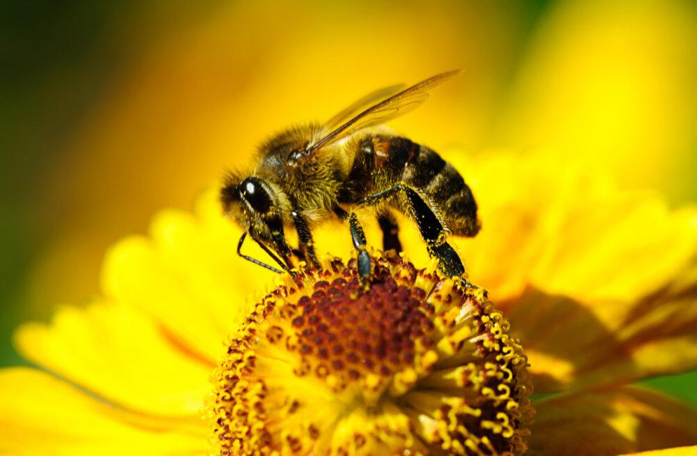 Euroopa Liit keelustab mesilasi kahjustavad pestitsiidid