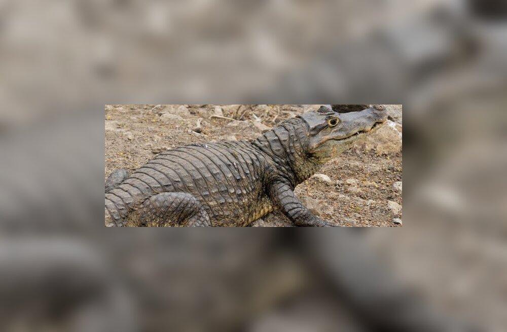 Uuring: alligaatorid hingavad nagu linnud