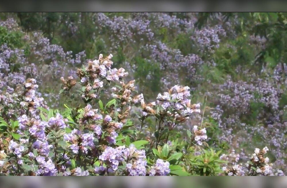 Уникальный цветок Индии, который цветет 1 раз в 12 лет