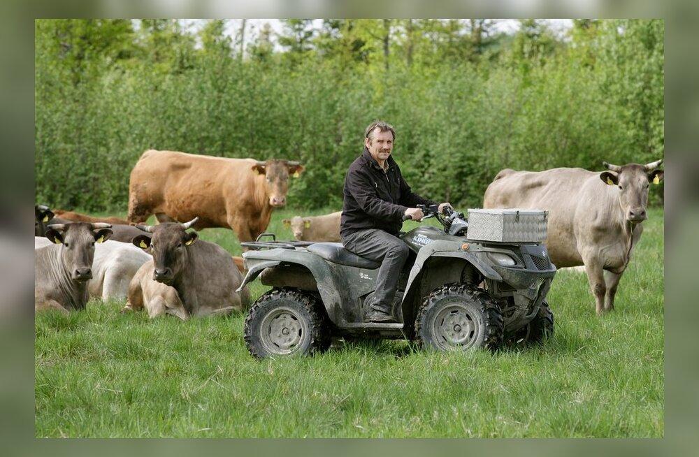 """""""Ostan oma karja täienduseks  ainult puhtatõulisi loomi,""""  kinnitab Aldo Vaan heleda  akviteeni karja keskel.  Seda tõugu mullikaid on  ta toonud nii Rootsist  kui Saksamaalt, et are- tada puhtatõuline kari."""