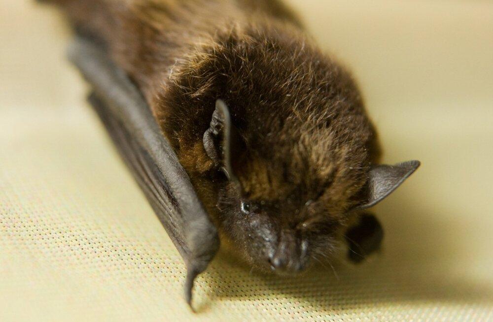 Teadlased tapavad liiga palju nahkhiiri