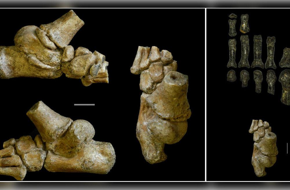 Inimese eellane: 3 miljonit aastat vana maimik, kes tundis end koduselt nii maas, kui ka puu otsas