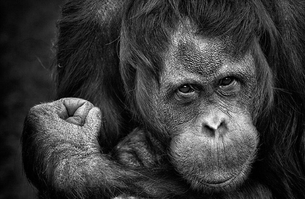 VIDEO | Katsest selgub, et šimpansid on kivi-paber-käärid mängus palju osavamad kui väikesed lapsed