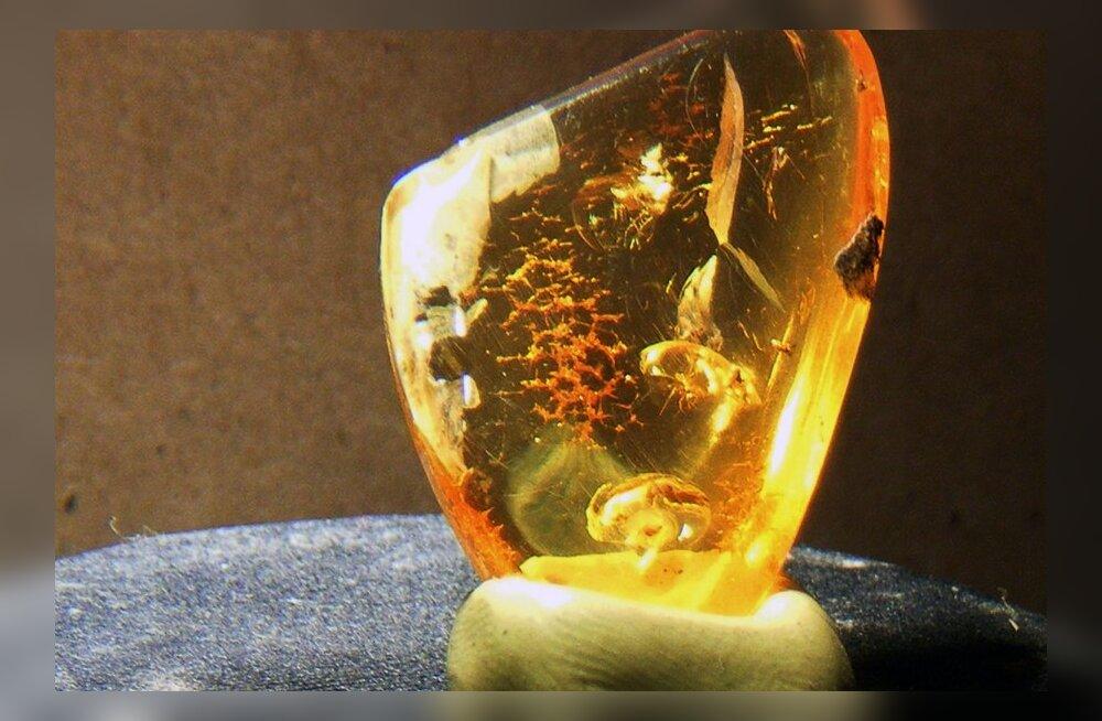 Parasiit hüppas putuka tiivalt ja tardus 16 miljoniks aastaks