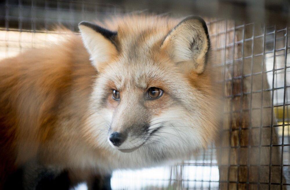 Kas karusloomadest loodetakse lahendust Eesti loomakasvatuse probleemidele?
