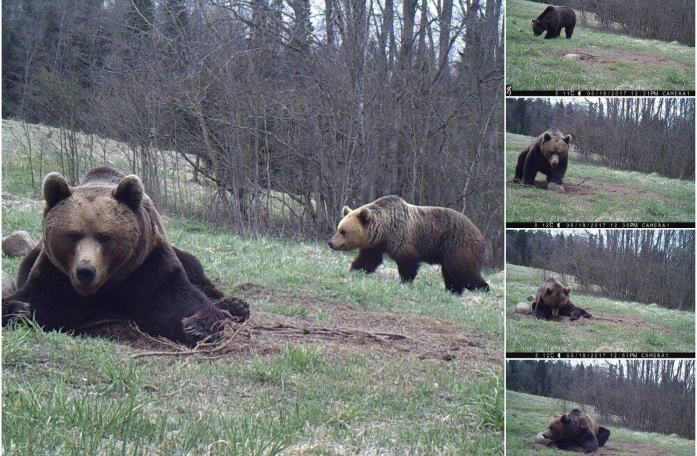 PÄEVAPILT: Karu pikutab söödakohal