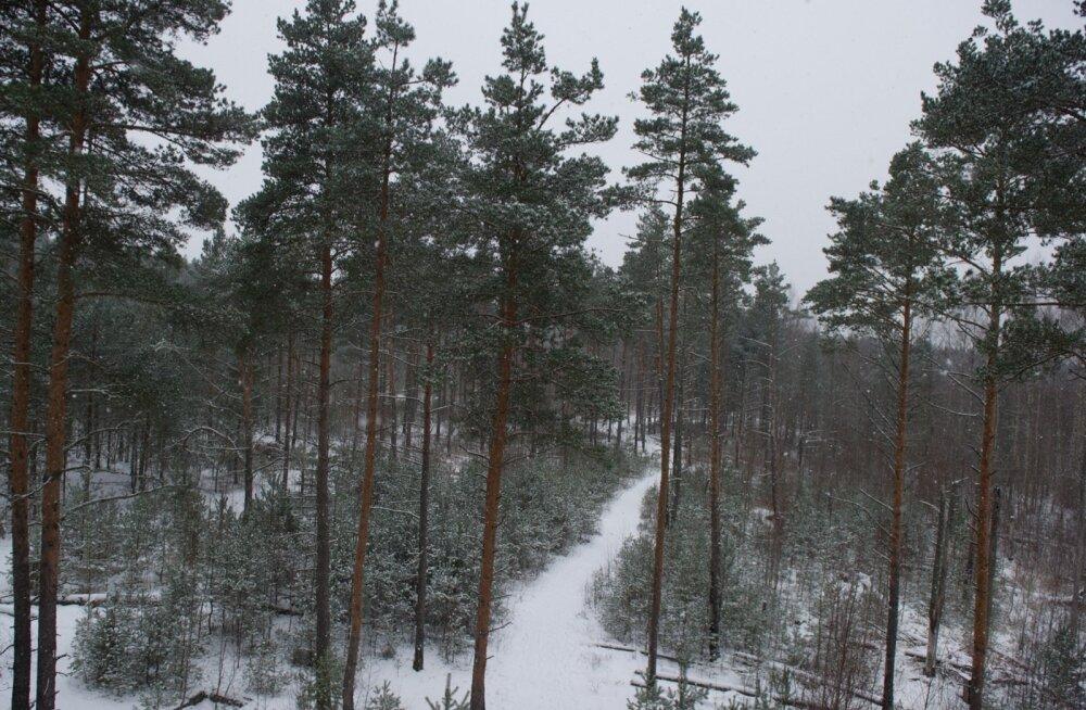 Таллинн приглашает в рождественский поход по болоту Пяэскюла