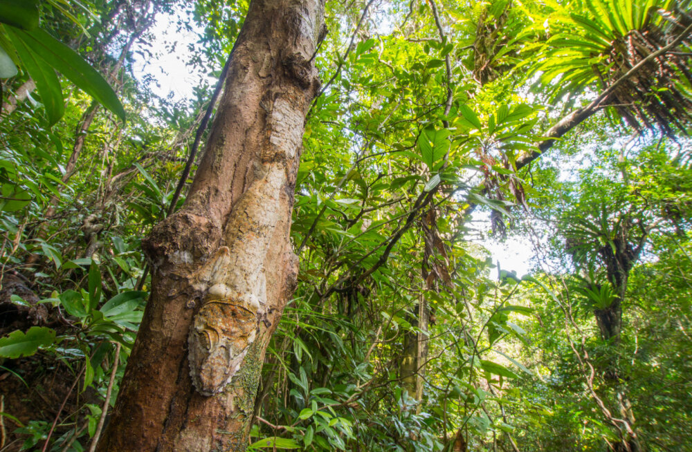 В Тасмании нашли самое высокое лиственное дерево в мире
