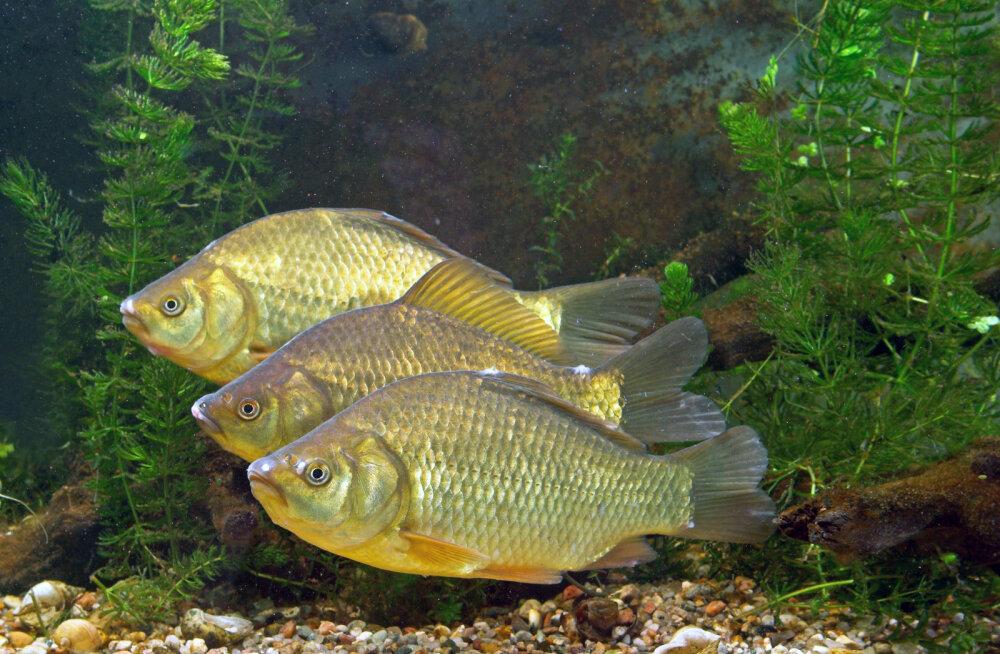 Kui hästi kalad kuulevad?