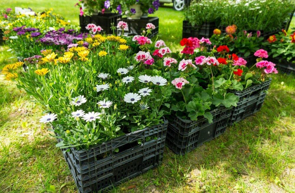 Odavamad on need taimed, mis eraldi potti istutatud ei ole, vaid müüja paneb need koos paraja koguse mullaga ise ostjale kotti.