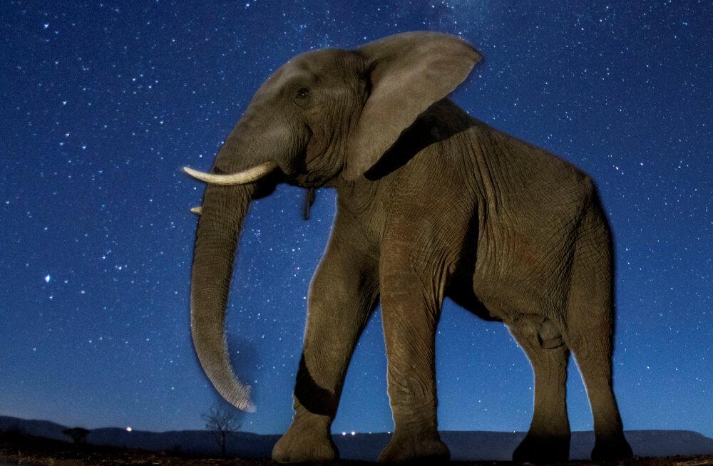 Hiiglaste uneta elu: värskest uuringust selgus, et elevandid on peaaegu kogu aeg ärkvel