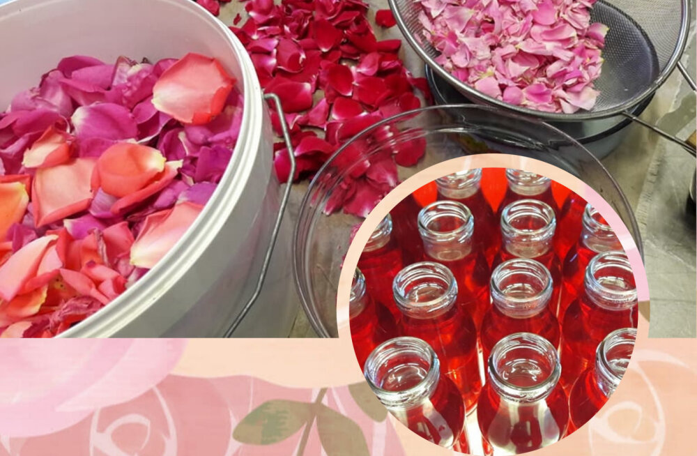 Saaremaa ettevõtja pani purki esimese partii roosiõitest moosi ja siirupit