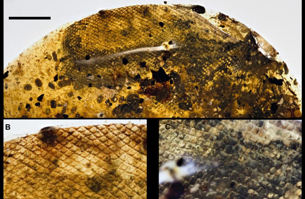 Myanmari turult saadud vaigutükist tuli ilmsiks teadaolevalt vanim maopoeg