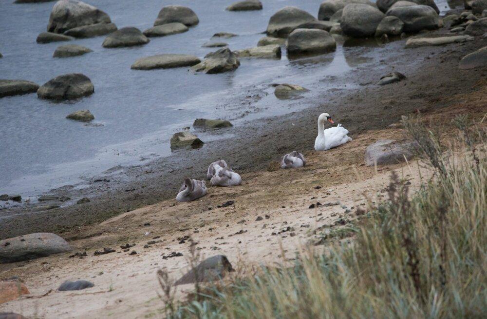 Ornitoloog hoiatab: väikesed luigepojad tuleks rahule jätta