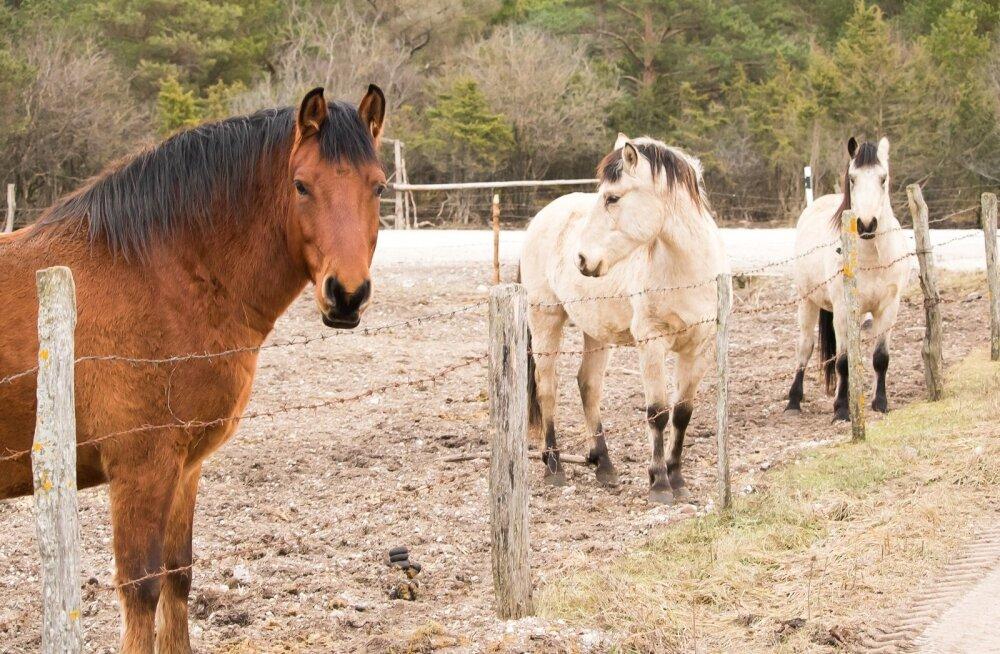 Kui hobune aevastab, levivad piisad 35 meetri raadiuses, nii et kogu tall on ohus.