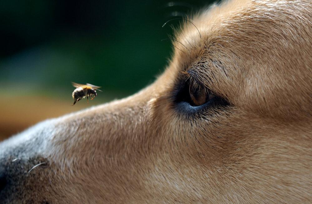 KUI MINU KOER | Mida teha, kui minu koer saab putuka käest nõelata?