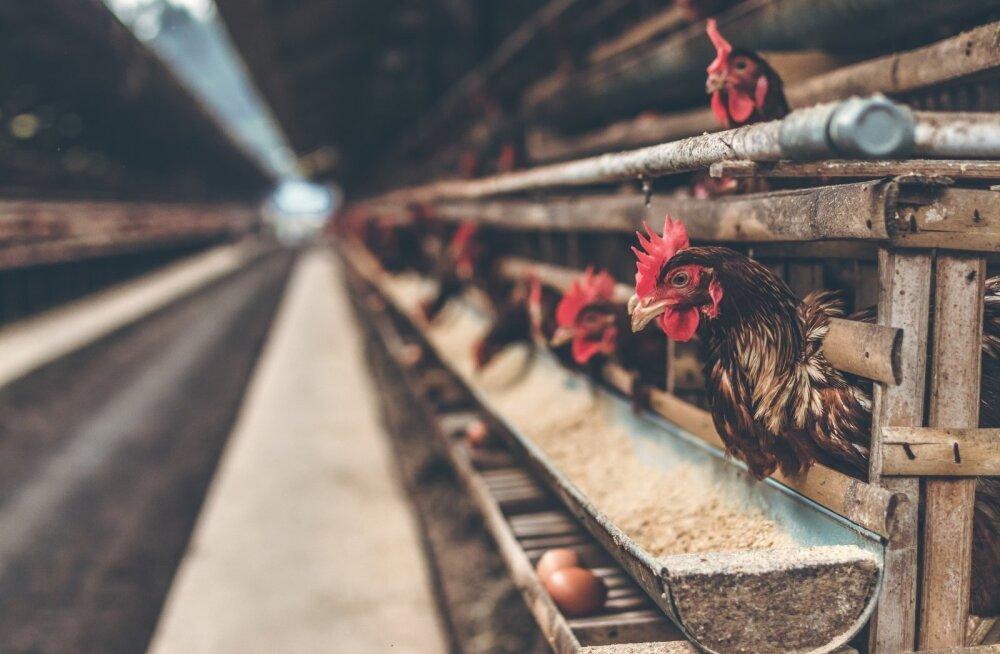ВИДЕО | Жестокие кадры: на ферме крупнейшего эстонского производителя яиц кур убивали из пневматического ружья