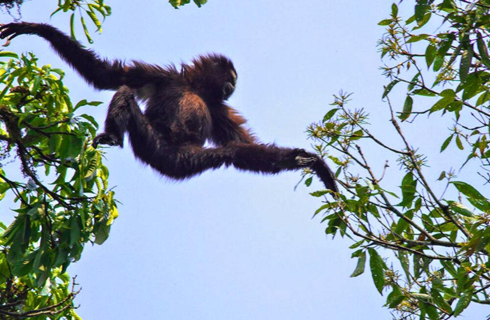 Loodusturistid, rõõmustage! Hiinas avastatud uus ahvitõug Skywalker