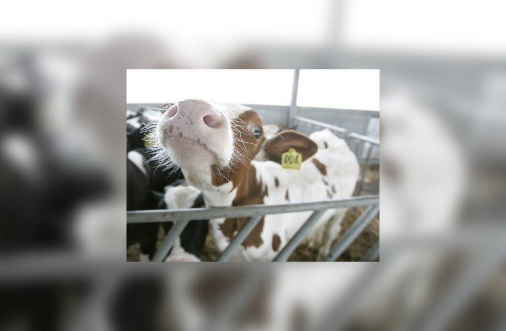 Maaülikooli suurloomakliiniku lehmade kõhus kasvab kolm kloonvasikat