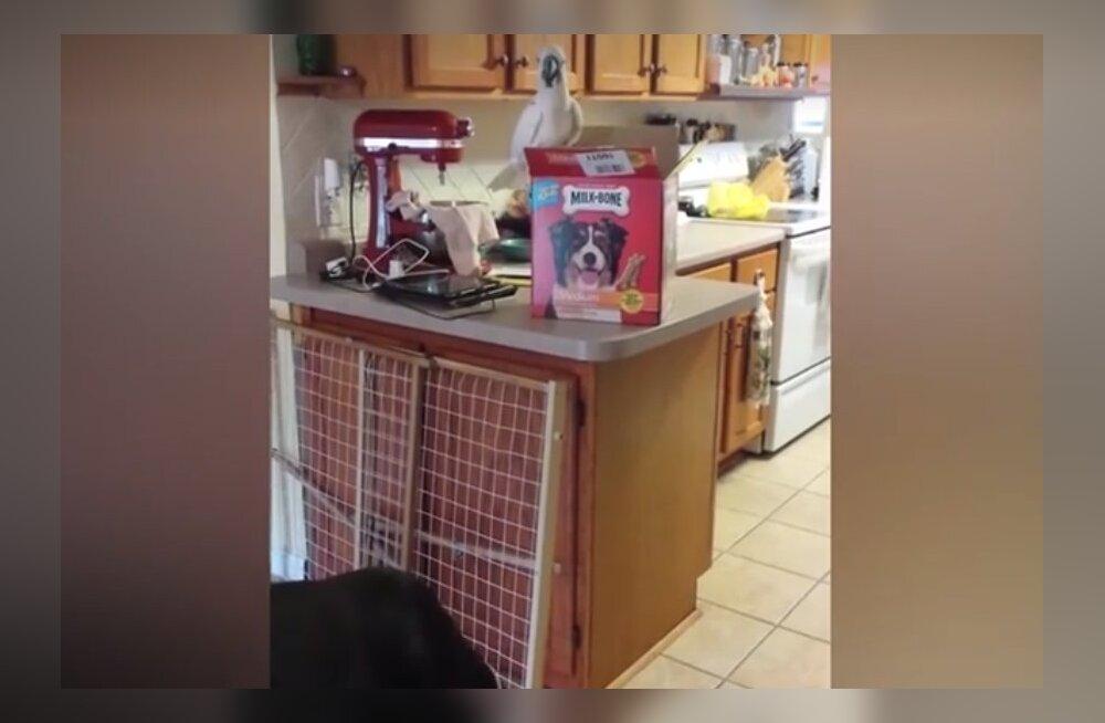 VIDEO: Tiimitöö! Iga koera unistus on omada sellist parimat sõpra