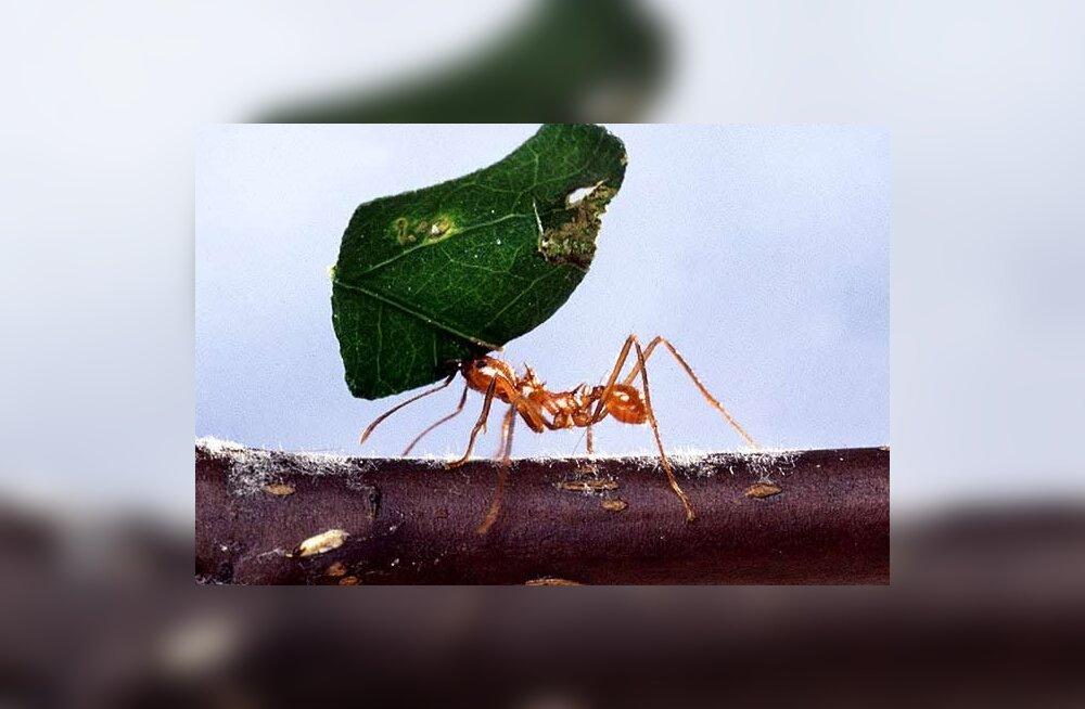 Sipelgas liigub nagu valguskiir