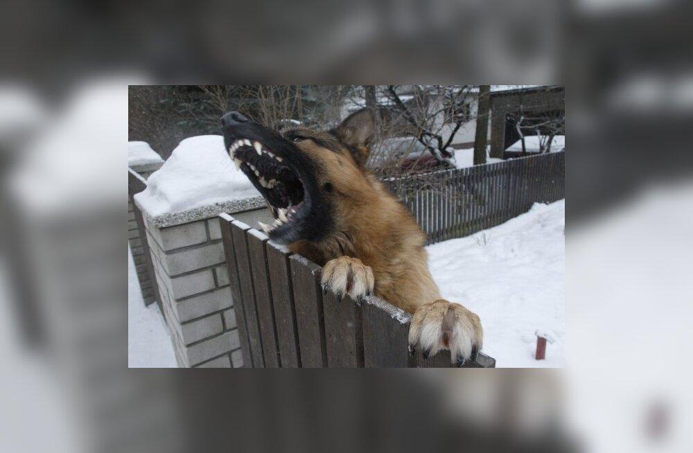Kuri koer