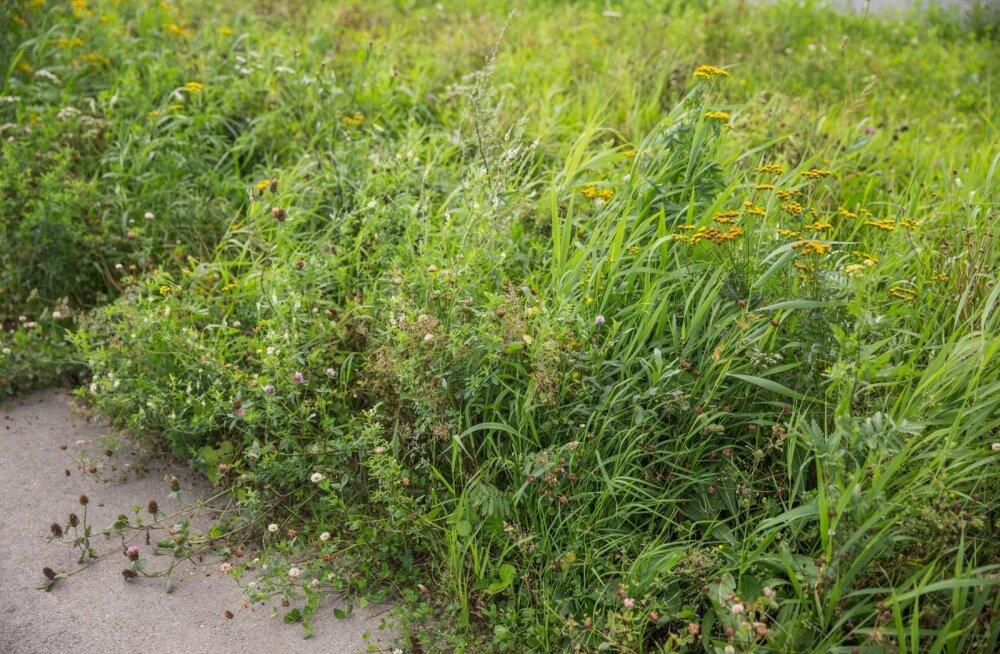Kui leheristipäeval maast kasvajaid ja toitujaid mingil kombel häirida, näeb suvi läbi hirmsat vaeva küll umbrohtude, lehekasvu ja kõige muu kasvavaga.