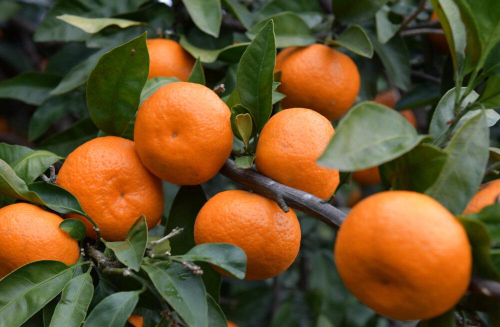 ФОТО. Оранжевая лихорадка: как в Абхазии собирают самые новогодние фрукты — мандарины