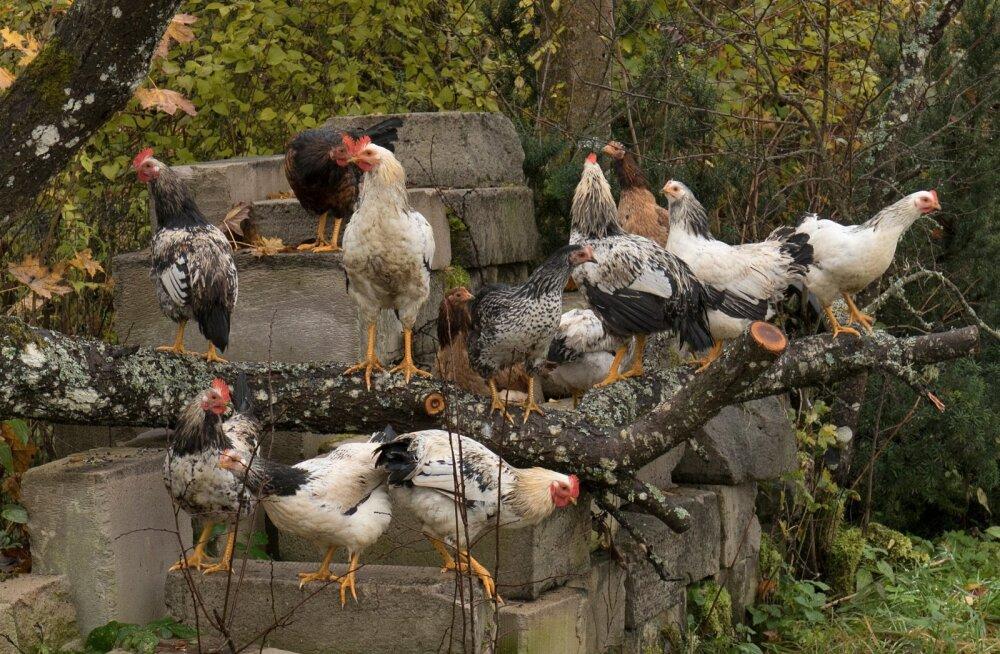 Kana, kanad, sügis