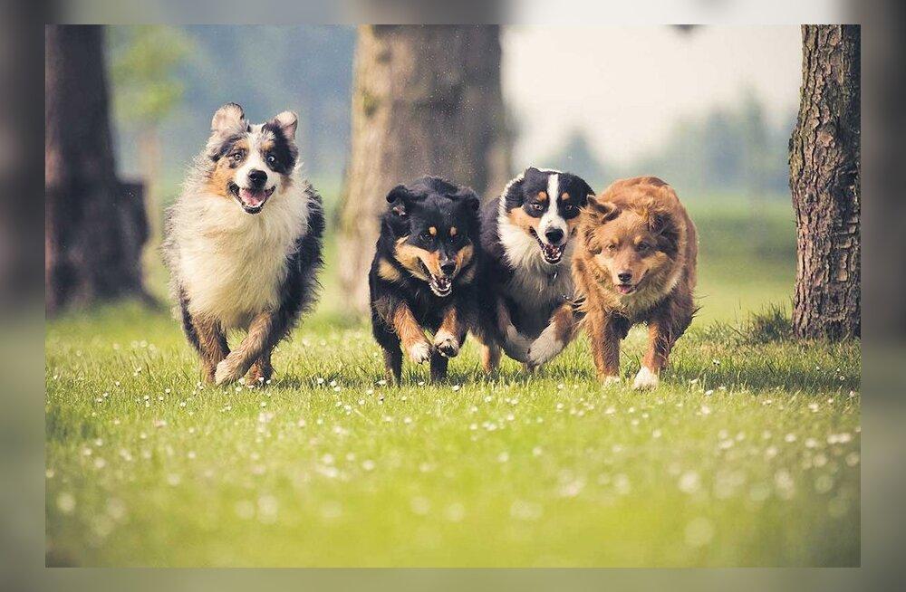 Koerakari jookseb ringi kindla juhita