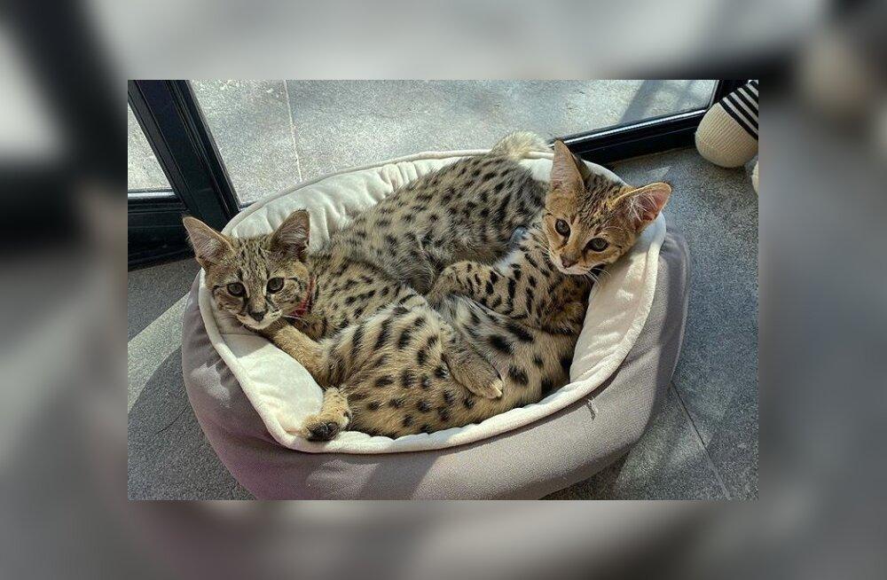 Justin Bieberi kümneid tuhandeid dollareid maksvad kassipojad pahandasid loomaõiguslasi