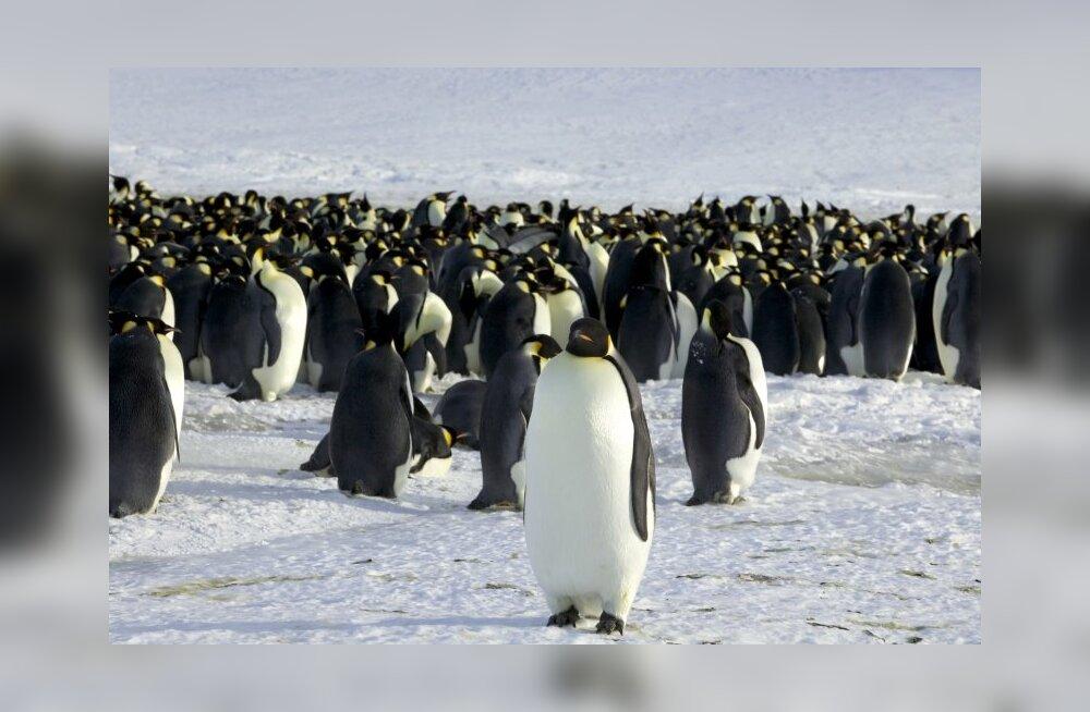 Satelliidid loendavad kosmosest pingviine