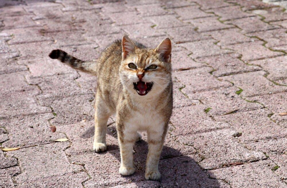 Pane tähele: Kass näub palju? Millal kassi näugumine terviseprobleemile viitab?