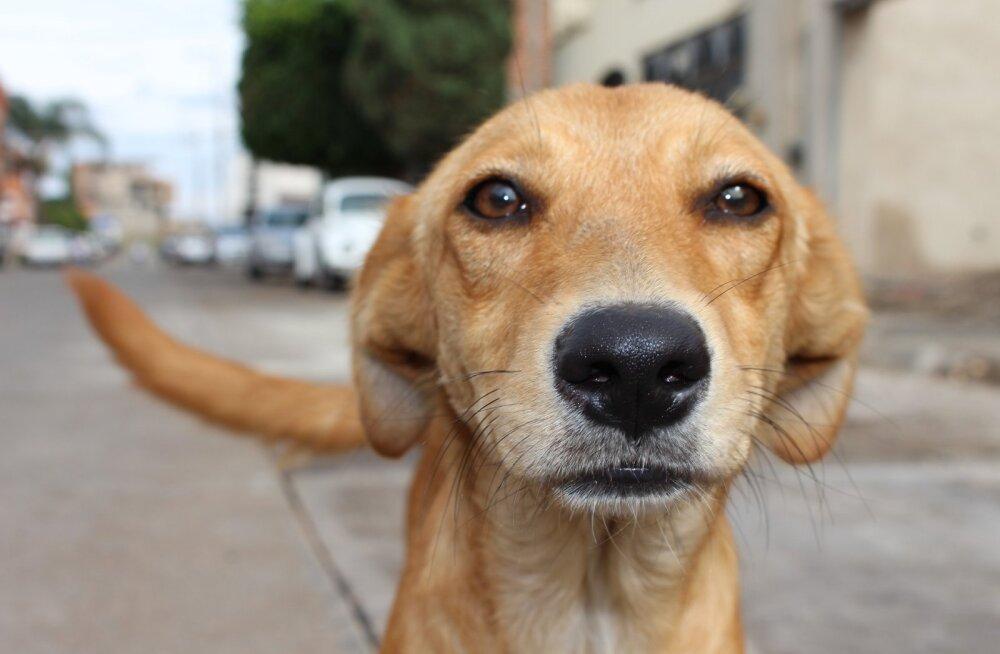 Kas FIFA MM on seda väärt: Venemaa valitsus maksab inimestele kodutute koerte mürgitamise eest
