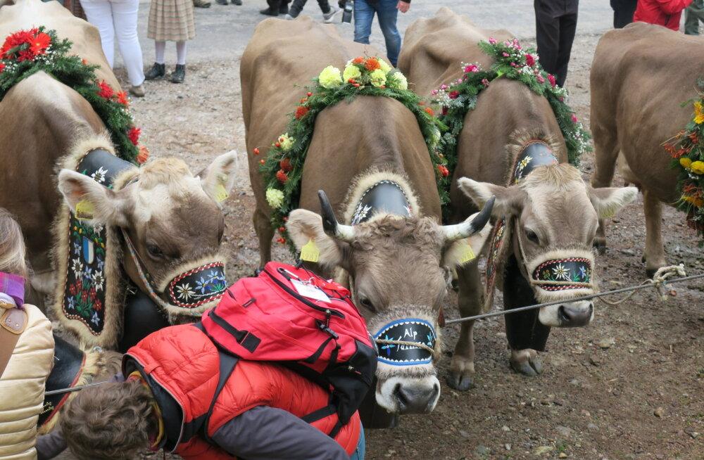 Šveitsi rahvahääletusel enamik lehma- ja kitsesarvede nudistamise vastu ei olnud