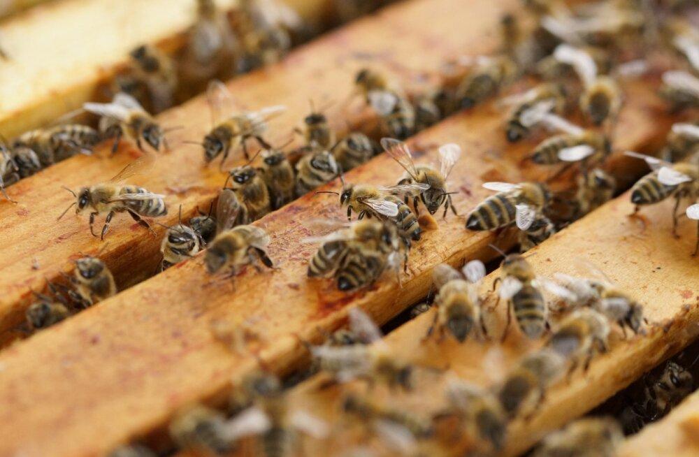Inimtegevuse tõttu kannavad mesilased endas surmavat kokteili