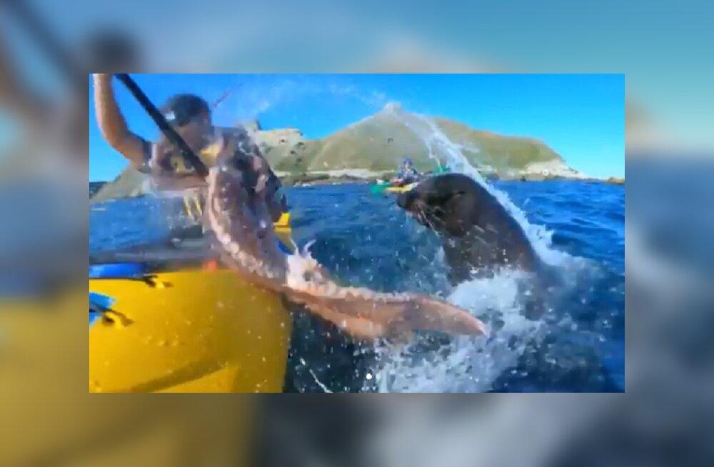 ВИДЕО: Тюлень с осьминогом в зубах атаковал туристов в Новой Зеландии